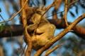 Koala śpi na drzewie